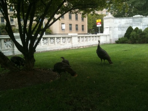 turkeys outside hms from rebecca