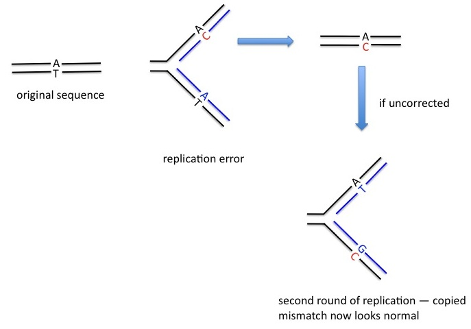 Who originated the idea that mutations were copying errors?