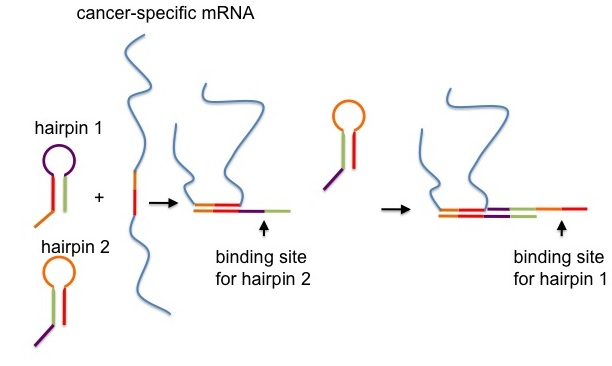 rna hairpins that trigger cancer cell death it takes 30 RNA Splices the little bits that stick out from the hairpins are essential to the strategy the authors call them toeholds and they are what makes it possible for