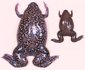 Two Xenopus species: X. tropicalis and X. laevis